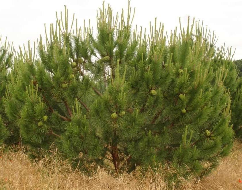 grafted stone pine loaded with cones (Junta Castilla y Leon)